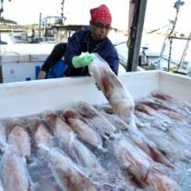 漁が解禁され、水揚げされた港で冷凍コンテナに積み込まれるソデイカ=8日、与論町