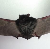 奄美大島で見つかった未知の種のコウモリ(木元侑菜さん提供)