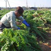 青々と育ったシマアザミを収穫する和泊町シルバー人材センターの会員=7日、同町喜美留
