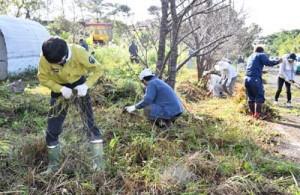 アメリカハマグルマの駆除作業を行う参加者ら=17日、徳之島町大原