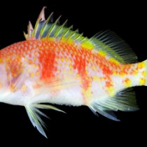 トカラ列島近海で見つかった新種の魚類「アヤメイズハナダイ」(鹿児島大学総合研究博物館提供)