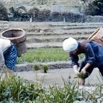 集落に広がっていた水田。手作業で田植えする女性たち=1970(昭和45)年ごろ、大和村津名久(映像より)