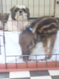 飼い始めた当初、うり坊だった頃のコジロー。後ろは一緒に飼っていた小型犬(2013年、提供写真)