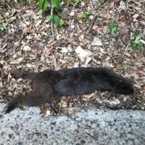 交通事故死したとみられる妊娠中だったアマミノクロウサギ(環境省奄美自然保護官事務所提供)