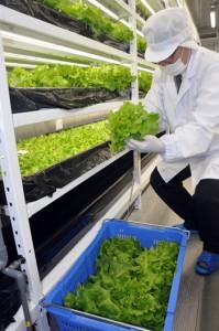 コンテナ型植物工場で栽培したレタスの初収穫=23日、奄美市名瀬
