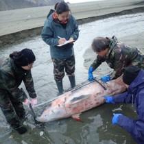 漂着したオガワコマッコウの死骸を調べる関係者ら=12月29日(興克樹さん提供)