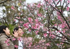 開花したヒカンザクラ=24日、龍郷町の長雲峠