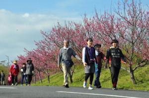 満開のヒカンザクラを楽しみながら思い思いのペースで歩く参加者=3日、奄美市名瀬