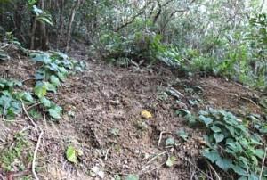 100株以上が盗掘された現場=6日、徳之島内の山中