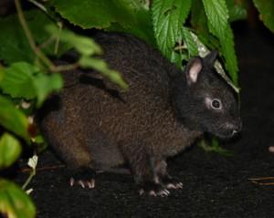 国の特別天然記念物アマミノクロウサギ