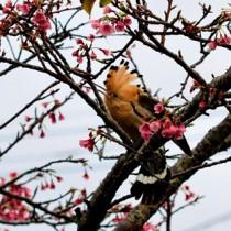 民家のサクラの木の上で冠羽を開く旅鳥のヤツガシラ=5日、知名町徳時(濱本智明さん撮影)