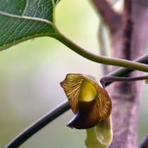 風に揺れて林縁を彩るリュウキュウウマノスズクサ=奄美大島