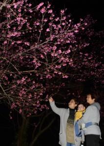 ライトアップされた県道沿いのヒカンザクラ=4日、龍郷町秋名