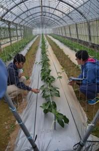 最新技術の「V字仕立て」を視察する関係者=2月27日、奄美市名瀬朝戸の同市農業研究センター