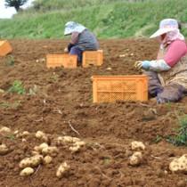 晴れた日は終日、掘り取り作業に汗を流す農家の姿が見られる沖永良部島のバレイショ畑=1日、知名町竿津