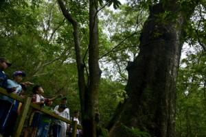 オキナワウラジロガシの巨木に見入る児童ら=2日、大和村大和浜