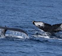 大海原を悠然と泳ぐザトウクジラ