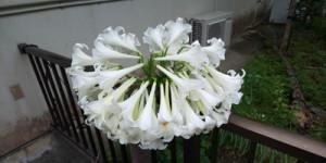 あだん横丁・瀬戸内町古仁屋でユリが約40個の花咲かす190422提供①