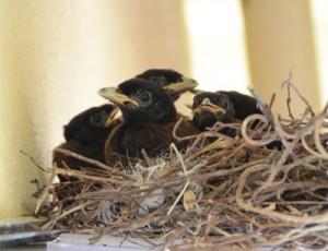 民家軒下の巣で育つルリカケスのひな。5羽確認できる=12日、奄美市名瀬