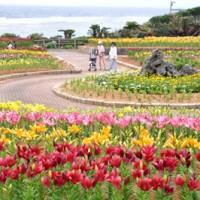 開花期を迎え、笠石海浜公園を彩る約2万輪のスカシユリ=14日、和泊町