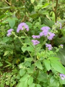 外来植物ムラサキカッコウアザミ=22日、奄美市住用町の奄美中央林道(提供写真)