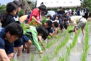 田植え祭りの再興へ向け、3年ぶりに行われた田植え作業=14日、徳之島町手々