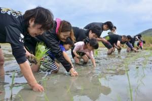 泥に漬かりながら田植えに取り組む参加者=14日、龍郷町秋名