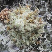 猛毒を持つウンバチイソギンチャク=徳之島町の畦海岸(興克樹さん提供)