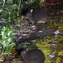 輪禍や食害防止の取り組みが求められているアマミノクロウサギ