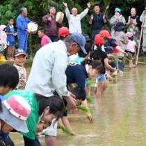 田植え唄に合わせて苗を植える参加者=13日、徳之島町井之川