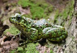 種の保存法で捕獲が禁じられているアマミイシカワガエル(資料写真)