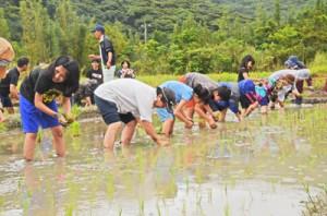 小雨が降る中、一列になって苗を植える老若男女=28日、奄美市住用町市