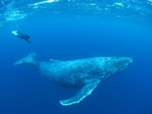 冬季に来遊するザトウクジラとホエールスイムを楽しむ参加者=2019年1月、奄美大島沖(興克樹さん提供)