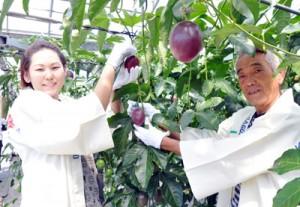 紅色に熟したパッションフルーツを収穫する園主の義永さん(左)ら=24日、瀬戸内町阿木名
