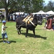昔ながらのサタグンマの実演があった黒砂糖祭=5日、徳之島町畦