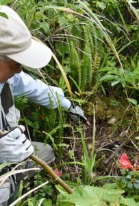 ウケユリが盗掘されたと見られる跡=28日、奄美大島の山中