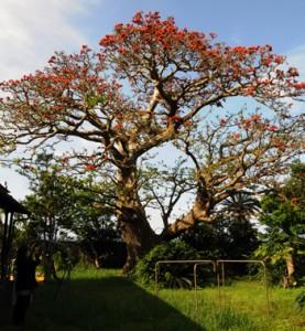 見頃を迎えている木慈集落のデイゴ=3日、瀬戸内町加計呂麻島(家主の許可を得て撮影)