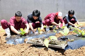実証栽培に向け、黒ウコンを植え付ける生物生産系列の生徒ら=24日、伊仙町伊仙