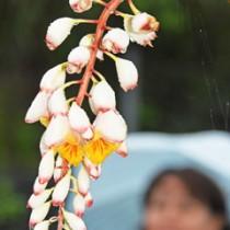 梅雨を告げるゲットウの花=14日、奄美市名瀬の大浜海浜公園