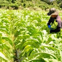 青空の下、葉タバコの収穫作業に精を出す作業員の男性=21日、知名町住吉