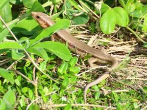 県の希少野生動植物に指定されたオキナワトカゲ