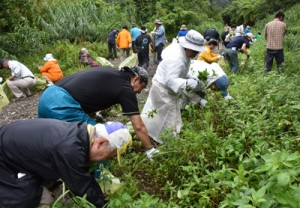 外来種のムラサキカッコウアザミなどを駆除する参加者=15日、奄美市住用町