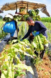 収穫シーズンの終盤を迎え、作業を急ぐ葉タバコ農家=15日、知名町正名