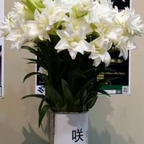 テッポウユリの新品種「咲八姫」
