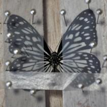 沖永良部島で採集された迷チョウのミナミコモンマダラ
