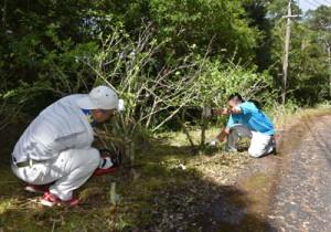 ブッソウゲの伐採作業を行う村の職員=2日、宇検村