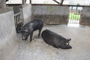 霧島市で飼育されていた奄美の島豚をルーツに持つ島豚=2019年4月、奄美市(提供写真)