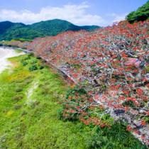 深紅の花が海岸線を染めるデイゴ並木=2017年5月、瀬戸内町諸鈍