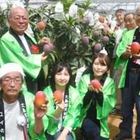 紅色に完熟したマンゴーを収穫する森田町長(左奥)ら=17日、天城町兼久