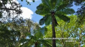 インターネット動画サイトで公開された奄美・沖縄世界自然遺産オリジナル音楽の画面(画面は金作原原生林)